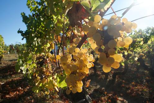 Vignobles Boudat Cigana - Raisin blanc
