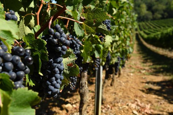 Vignobles Boudat Cigana - Raisin rouge