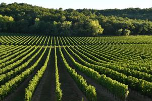Vignobles Boudat Cigana - Vigne