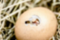 hatching-chicks-2448541_1920.jpg