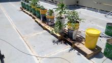 גידול ירקות במכלי פתיל