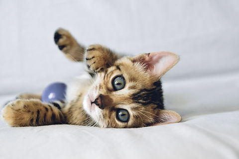 bengal-cat-RRSLKUT.jpg