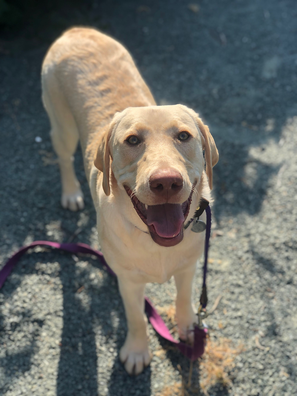 A picture of an 8 month old yellow lab dog, laughing for the camera
