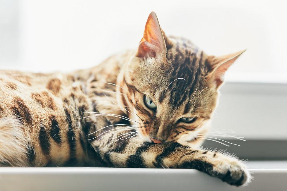 cat-grooming-himself-on-window-sill-bengal-cat-R3BZF89.jpg