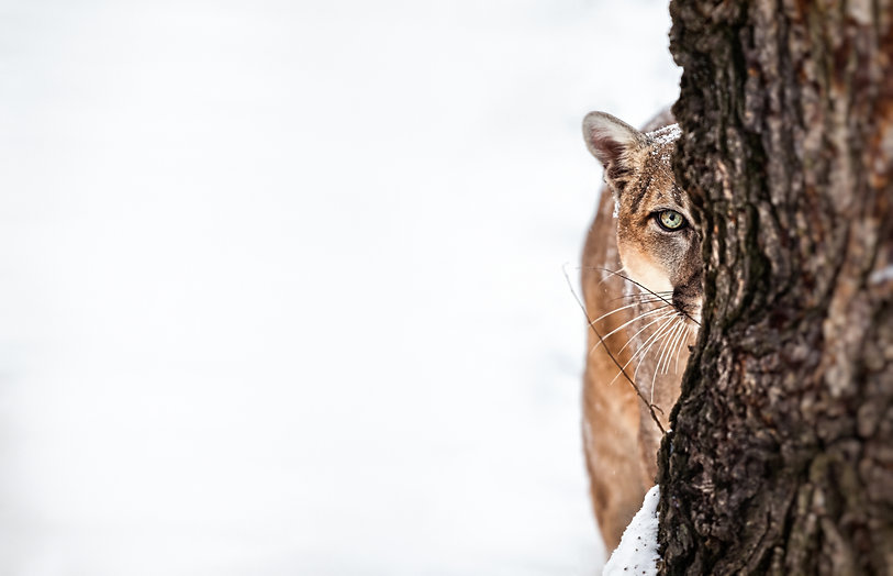 Portrait of a cougar, mountain lion, pum
