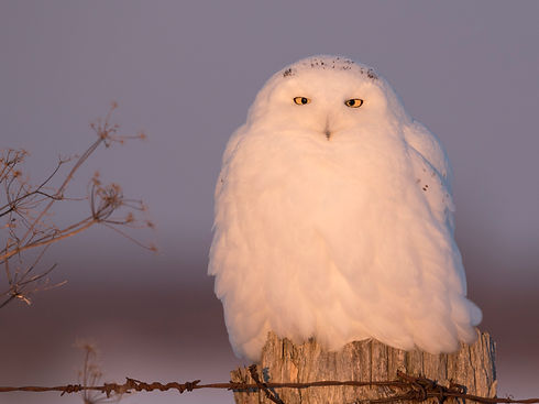 Male snowy owl perching on a post at sun