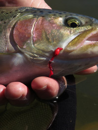 wild-fly-fishing-in-the-karoo-trout.jpg