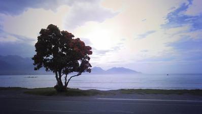 Czerwone drzewo z Kaikoury było jednym z