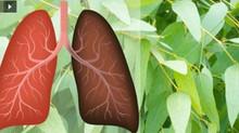 6 plantes et herbes qui réparent les dommages faits aux poumons,