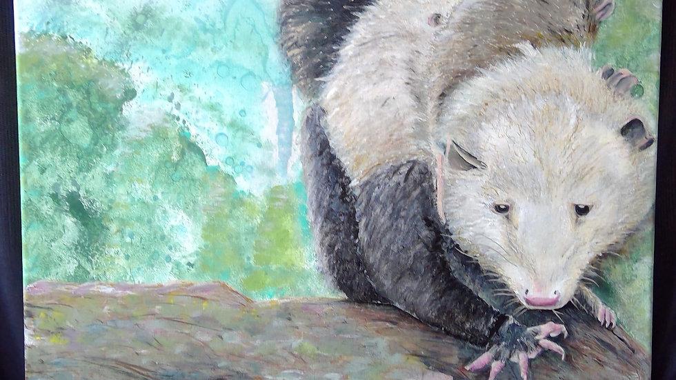 Virginia Opossoms