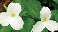 Trillium, Sweet Air, & Mothering