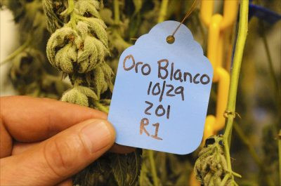 Marijuana plants of the Oro Blanco variety dry in Room 212 of the Kind Therapeutics cannabis cultivation facility in Hagerstown, Maryland. (Photos by Larry Luxner)