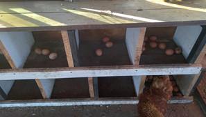 """Winifreda: Huevos de calidad en la """"Granja Avícola Móvil"""""""