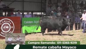 Pagaron $ 4.850.000 por un toro Angus de cabaña Mayaco de Eduardo Castex