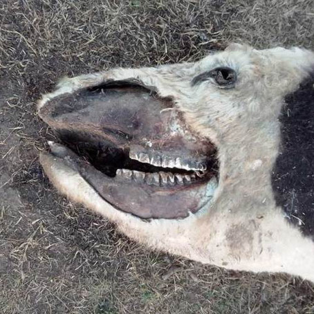 Hallan vacas mutiladas en la zona de El Guanaco