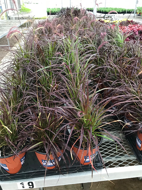 1 Gal. Purple fountain grass