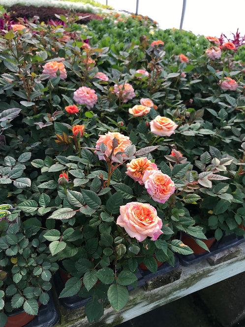"4"" Miniature Rose"