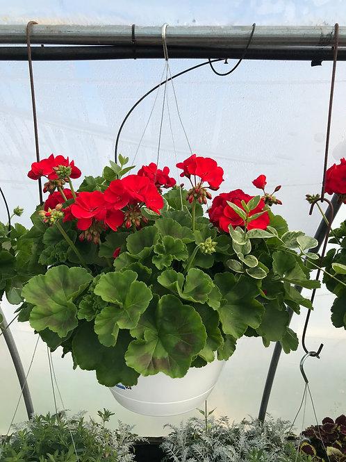 """12"""" Geranium Combo Hanging Basket"""