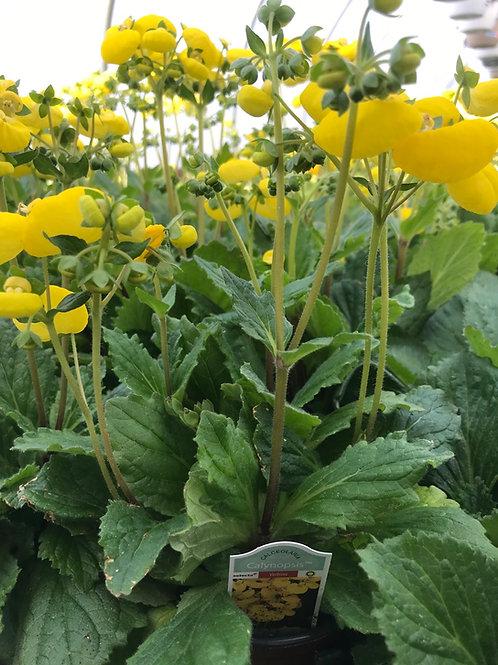"4"" Calceolaria Yellow"