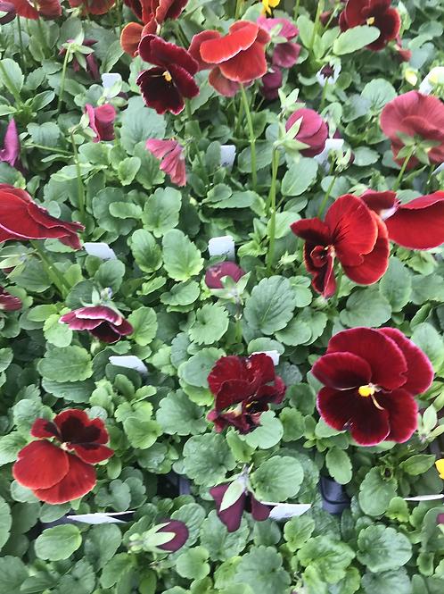 Flat of pansies Red Blotch