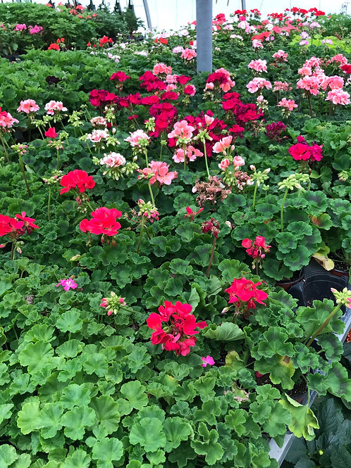 "4"" assorted geraniums"
