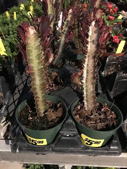 "4"" Euphorbia trygona"