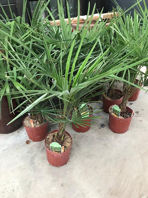 3 gal Windmill Palm