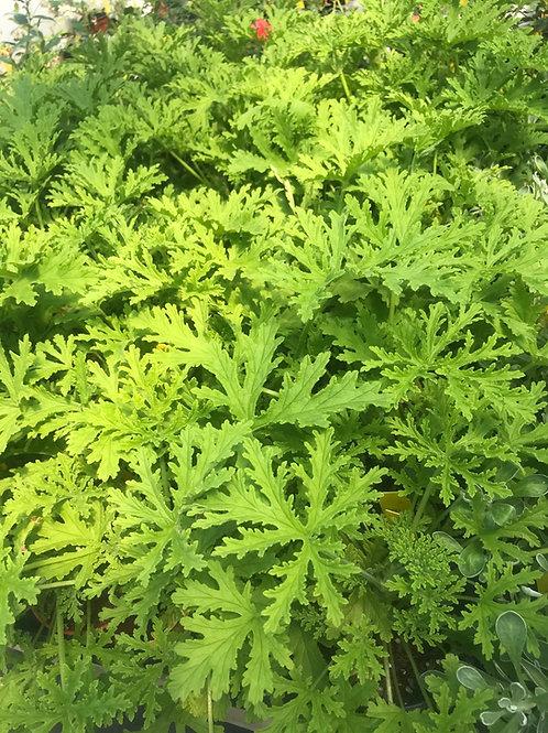 """4""""Geranium Citronella"""