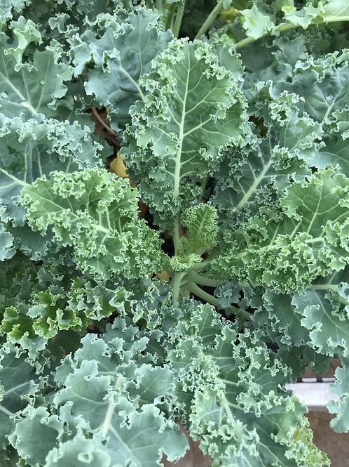 1 gal.Kale #5