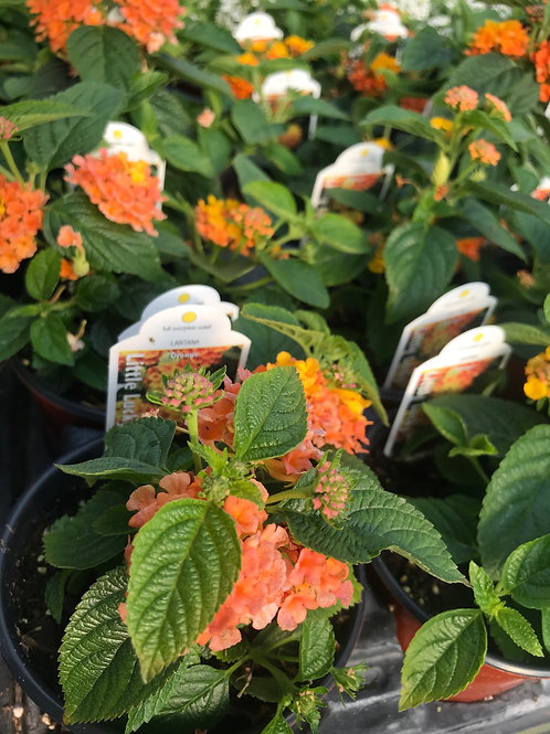 "4"" Lantana Little Lucky  Orange"