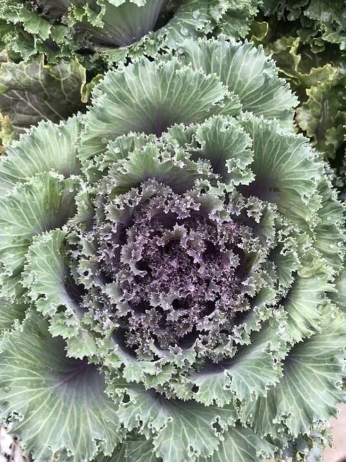 1 gal. Kale#10