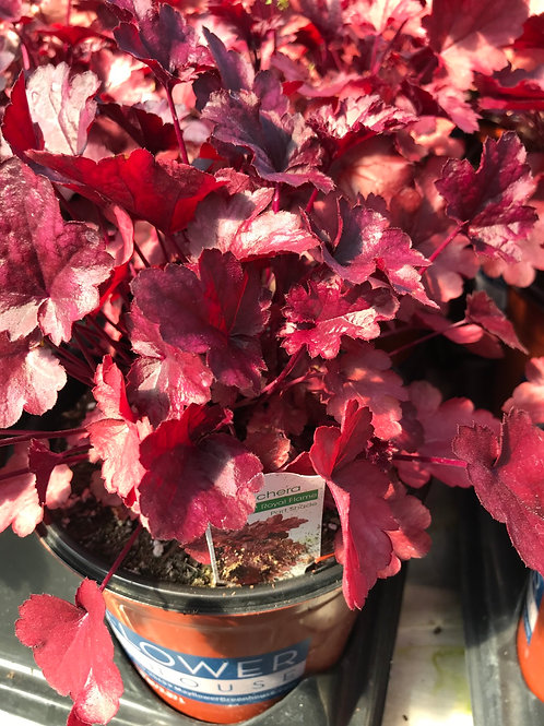 1Gal. Heuchera Royal Flame