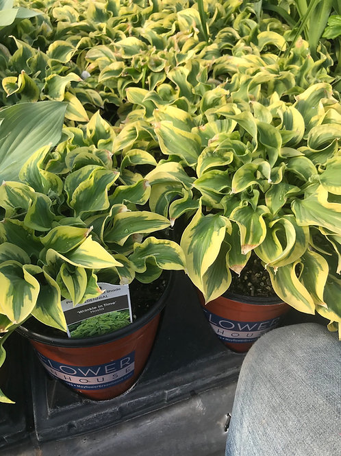 1 Gal Hosta Wrinkle in Time