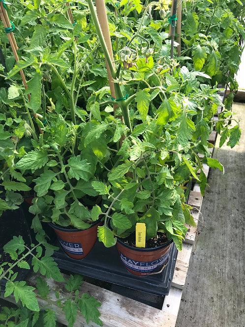 1 Gal. Tomato Beefsteak