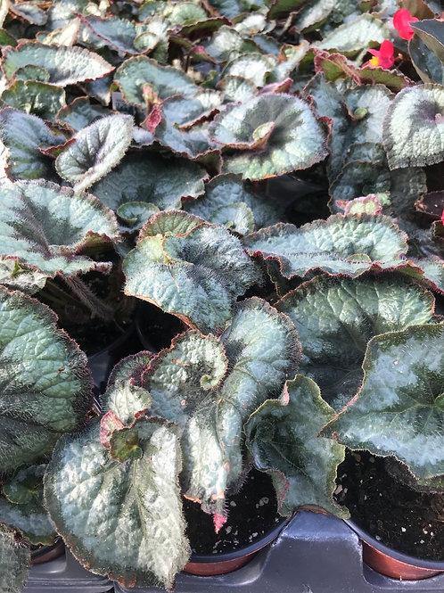 "4"" Begonia Escargot"