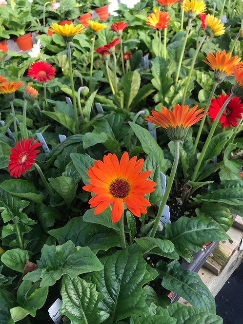 "6"" Assorted Gerbera Daisy"