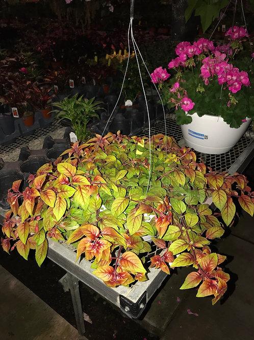"""10"""" Fuchsia autumnale"""