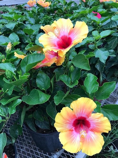 3 gal Hibiscus Fiesta