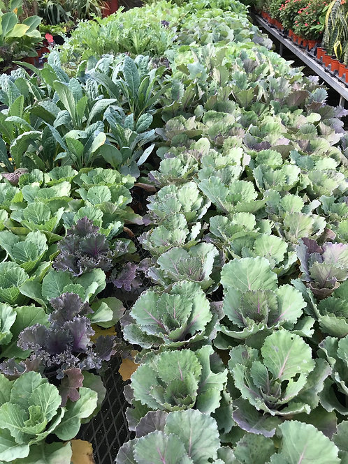 """4"""" Ornamental Kale and Cabbage"""