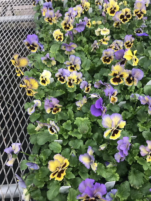 Flat of pansies frizzle sizzle