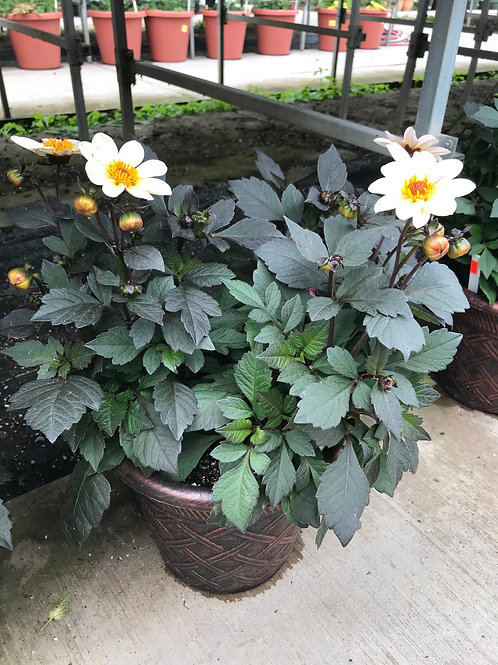 "10"" pot of dahlias"