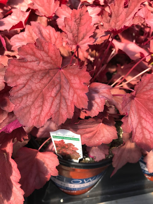 1Gal. Heuchera Sweet Princess