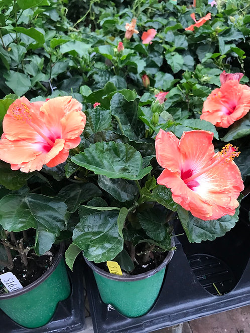 1 Gal Hibiscus Mandarin Wind