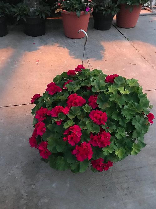 """12"""" Geranium hanging basket"""