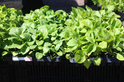 startedplants.JPG