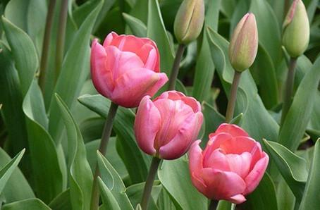 Breng de lente in huis ! Tijd voor tulpen, hyacint, muscari, ....