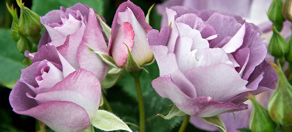 rosess1-1.jpg