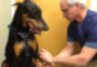Dr Fred Schlesinger performing acupuncture on a Doberman Pincher.