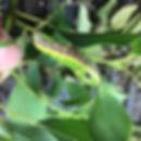 swallowtaillarvwebs.jpg