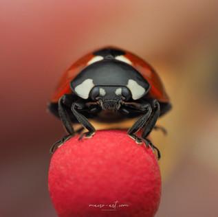 ladybird on match